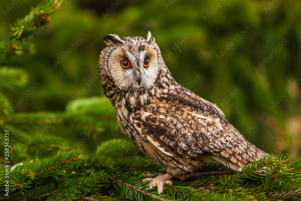 Fototapeta Eurasian eagle owl (bubo bubo) portrait, owls are often used as a symbol of wisdom, selective focus on the orange eyes, narrow depth of field