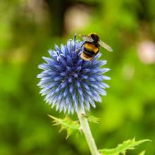 Bumble Bee On A Globe Thistle.