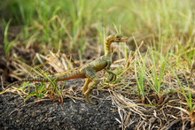 Compsognathus Or Compy Is Dino...