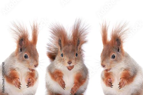 Fotografía  three squirrels eating hazelnuts