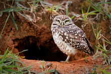 Burrowing Owl Protecting Home