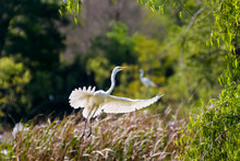 Great White Egret Jumps Into F...