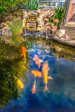 Koi Carp Fish Pond With Stone,...