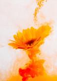 yellow astra chrysanthemum red inside water white background color acrylic underwater paint under smoke spring hot orange