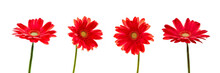Four Red Daisies (gerbera) Flowers Isolated On Panoramic White Background