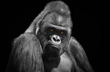 Portrait Of An Adult Male Gori...