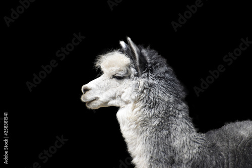 Poster Lama Close-up portrait of a gray llama with white breasts on a contrasting black background