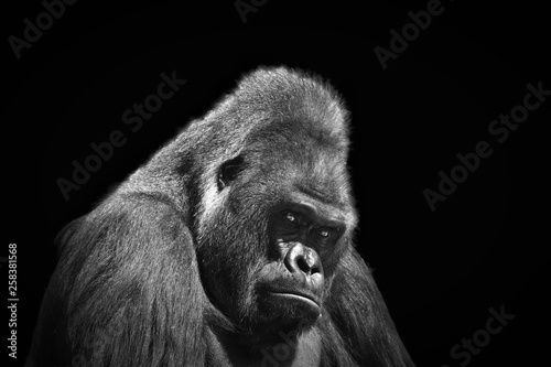 Black and white portrait in profile of an adult male gorilla on a contrasting bl Canvas Print