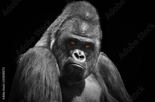 Photo Portrait of an adult male gorilla with yellow eyes on a contrasting black backgr