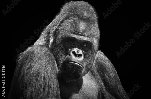 Black and white portrait of an adult male gorilla on a contrasting black backgro Wallpaper Mural