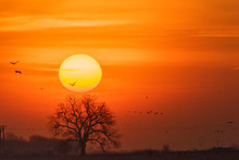 Sandhill Cranes At Sunrise;  N...