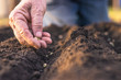 Farmer´s hand planting seed of green peas into soil. Sowing at springtime