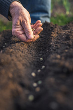 Planting Seeds Of Pea In Soil. Farmer Sowing Seed In Organic Garden
