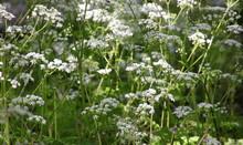 Blooming Anthriscus Sylvestris...