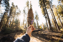 USA, California, Yosemite National Park, Mariposa, Hand Holding Cone In Sequoia Forest