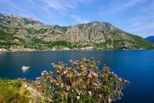 Montenegro, Bay Of Kotor, Risan, Flowering Oleander