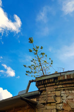 Small Pine Tree On The Roof