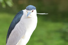 Black Crowned Night Heron (nyc...