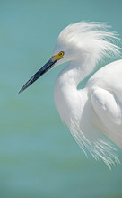 A Snowy Egret Makes A Nuisance Of Himself On A Fishing Dock.