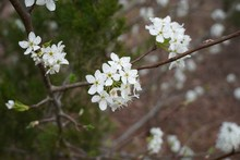 Blooming Bradford Pear Tree