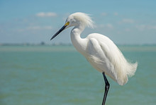 A Snowy Egret Makes A Pest Of Himself On A Fishing Pier.