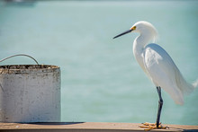 A Snowy Egret Makes A Nuisance Of Himself On A Fishing Pier.