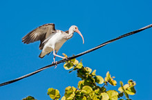 An Immature White Ibis Walking An Electric Guidewire.