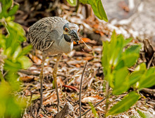 A Yellow Crowned Night Heron Catching Crabs On The Shoreline.
