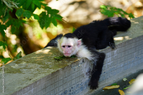 A white-headed capuchin monkey (cebus capucinus) by the pool in Peninsula Papaga Canvas Print