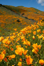 Poppies In Full Bloom On A Hil...