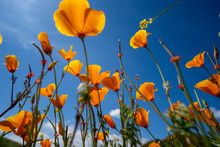 Looking Up View Of Poppies At ...