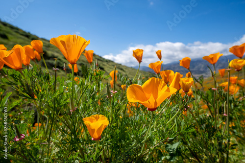 Fotografia, Obraz  Open orange poppies bloom in Walker Canyon in Lake Elsinore California during th