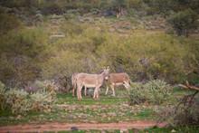 Wild Donkeys In Their Nature Desert Habitat In Arizona.