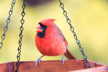Red Cardinal Eating At The Fee...