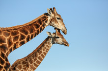 Giraffe Mother And Offspring I...