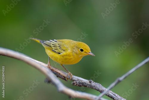 Cuadros en Lienzo Yellow warbler on a branch