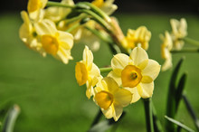 Close Up Of Miniature Daffodil...