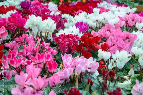 collection of colorful cyclamen flowers, close-up