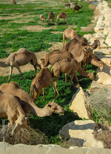 camels grazing on green grass outdoor at sunny day