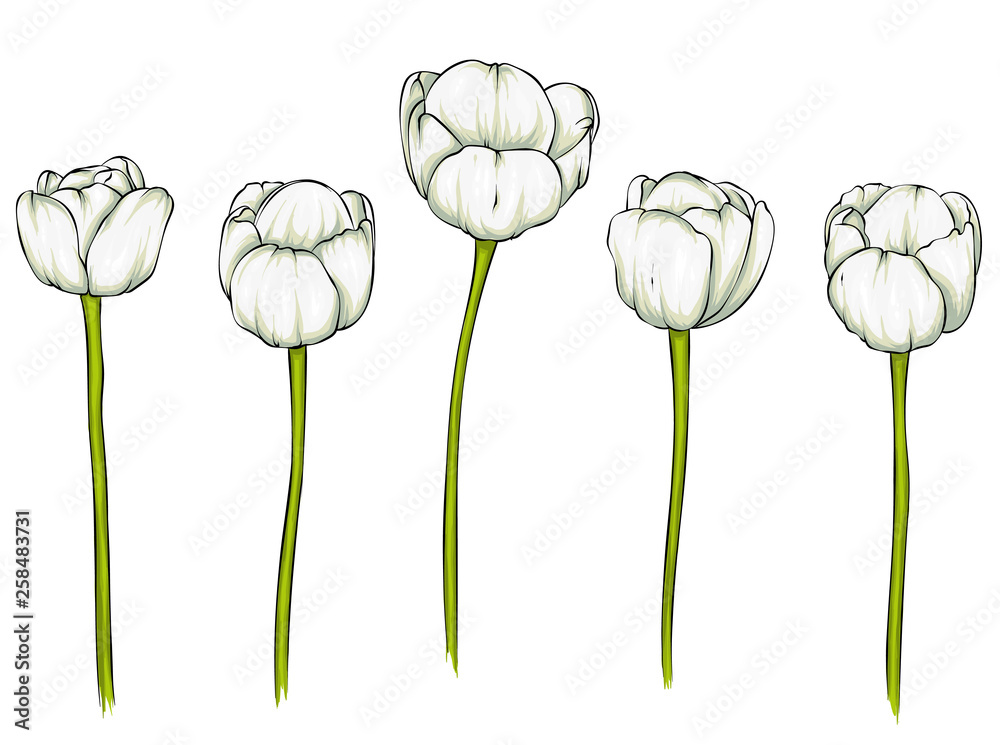 Fototapety, obrazy: Realistic vector tulips set. Not trace. The blank for your design. Tulips flowers on white background.