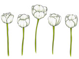 Fototapeta Tulips - Realistic vector tulips set. Not trace. The blank for your design. Tulips flowers on white background.