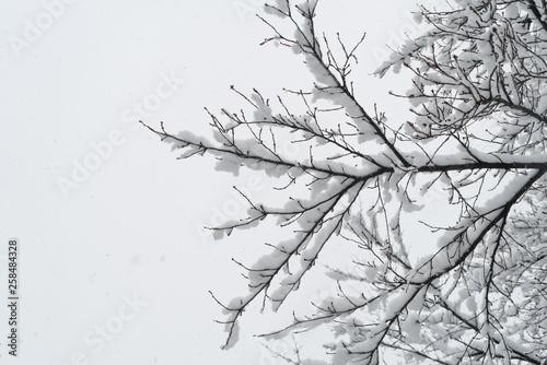Fotografía  Branch of a tree in hoarfrost.
