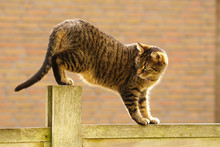 Tabby Cat Balancing On A Fence