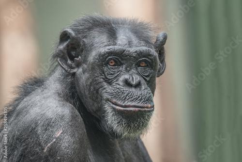 Portrait of curious wondered adult Chimpanzee Canvas Print