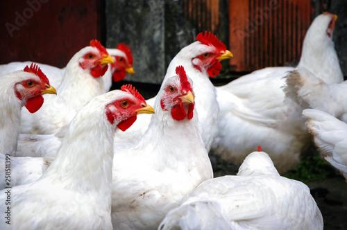 Obraz na płótnie White chickens on a free range farm in a small village in Masovia region of Pola