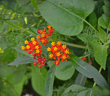 Close Up Of A Asclepias Silky Deep Red In A Flower Border