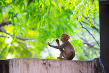 Portrait Of The Rhesus Macaque...