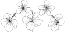 Vector Hibiscus Floral Tropical Flowers. Black And White Engraved Ink Art. Isolated Hibiscus Illustration Element.