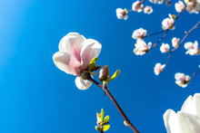 Ripening Magnolia Flowers On A Tree Against The Background Of A Blue, Spring Sky.