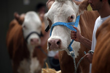 The Owners Show Their Cattle T...